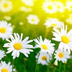 6815529-white-daisies